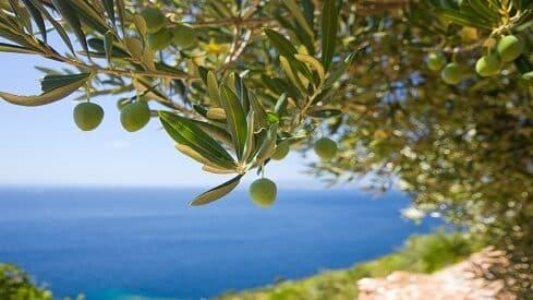 نصاب زكاة شجرة الزيتون المباركة