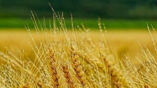 جمالُ الزرع… مشاهد حسية في إعجاز إلهي قرآني ورسالة موجهة للملحدين