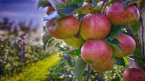 بستان تفاح